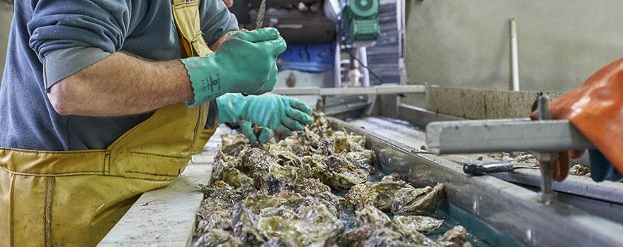 Ostréiculteur en train de trier des huîtres