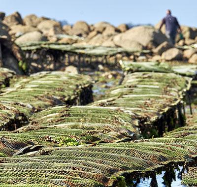 Tables à poches d'huîtres